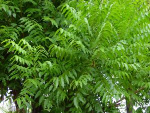 Olio di Neem estratto dall'albero di Neem