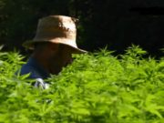 Cannabis GEO